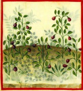 Aubergines in het Tacuinum Sanitatis