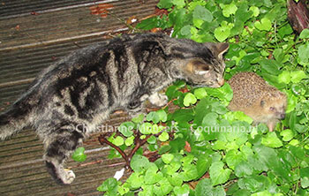 Our cat Hiro encounters a hedgehog in the garden