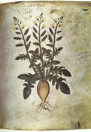 Picture of rhubarb from a sixth-century manuscript from Dioscorides' 'De materia medica' (Wenen, Öst.Nat.Bibl. Codex Vindobonensis med. gr. 1)