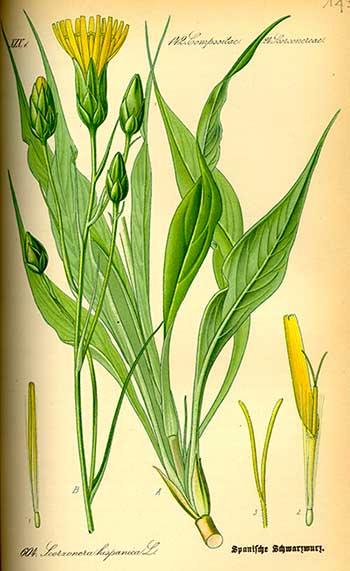 De schorseneer plant, afgebeeld in de Flora von Deutschland (1885) van prof. Dr. Otto Wilhelm Thomé