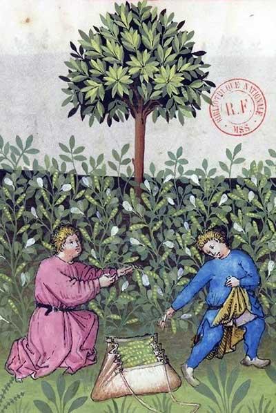 Detail met de oogst van tuinbonen uit het Tacuinum sanitatis (bnf, bron Gallica)
