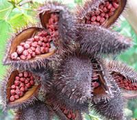 Anatto-zaden in de bolsters aan de boom