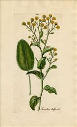 Tanacetum balsamita L., balsemwormkruid