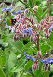 Borage attracts a lot of bees