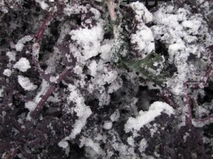 Red kale from the land with snow
