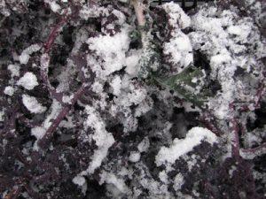 Rode boerenkool met aangevroren sneeuw