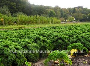 Kale on the land