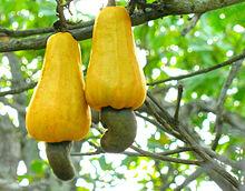 Cashew'noten', hangend aan cashew'appels'. Bron Wikipedia, Abishek Jacob