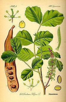 Delen van de Johannesbroodboom (Thomé 1885)