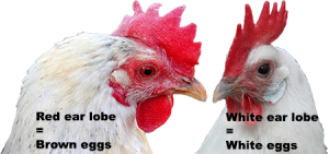 The relation betwee the colour of the earlobe and the egg shell