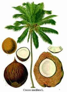 Coconut tree and fruit