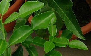 Blaadjes van de djeroek poeroetplant (bron wikipedia)