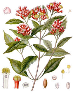 Cloves and flowering clove tree