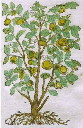 Picture of a quince tree from the 16th century