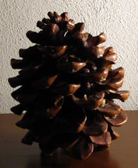 Twenty year old pine cone. Picture ©Christianne Muusers