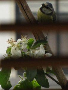 Not a finch but a blue tit picking of the lice from my apple trees