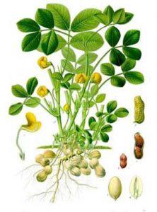Pindaplant. Uit Koehlers Medizinal-Pflantzen, 1887