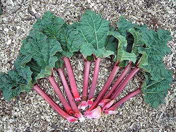 Rhubarb stalks with leaf (Wikipedia)