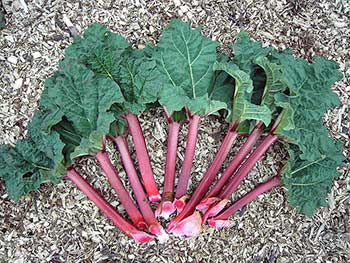 Rhubarb stalks with leaf (Wikipedia)