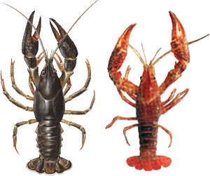 European crayfish on the left, American on the right