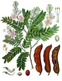Bloem, peul en blad van de tamarindeboom