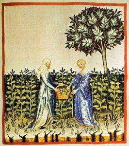 Tacuinum sanitatis - Oogst van muntblaadjes