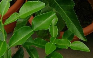 The leaves of the makrut lime (source: wikipedia)