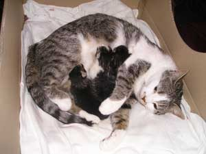 Mother cat Clio and her three kittens