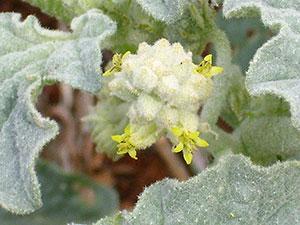 Chrozophora tintctoria.