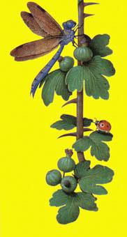 Middeleeuwse miniatuur van een kruisbessentak