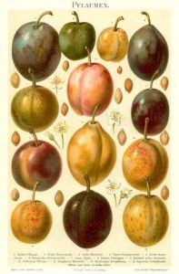 Varieties of plums. From 'Meyers Großes Konversations-Lexikon', beginning of the 20st century