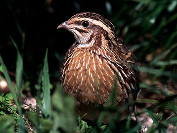 A quail. Source: Wikimedia, photo Sassoferrato.tv