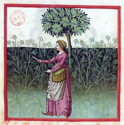 Venkel plukken. Tacuinum Sanitatis, bnf Latin 9333