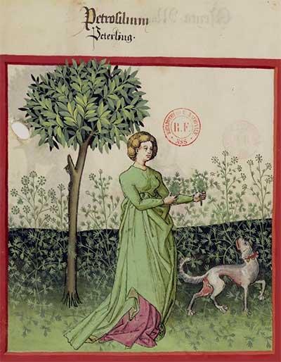 Parsley (Tacuinum Sanitatis, Gallica bnf)