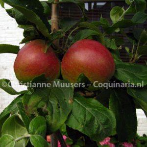 Twee van de Tydeman's Early-appels die in de jam gingen