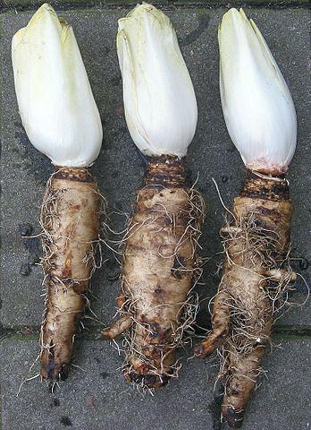 Witlof met de wortel. Bron: Wikimedia
