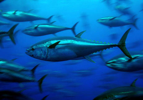 North-Atlantic bluefin tuna. Source: Greenpeace