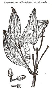 Folium indicum, afbeelding uit Dodoens Cruydtboeck 1644