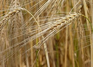 Barley. Source: Wikimedia
