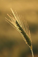 A barley ear (wikimedia commons). Photo Phil Sangwell