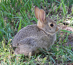 A rabbit, not indigenous to the British Isles