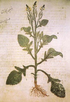 Mustard plant (Dioscorides)