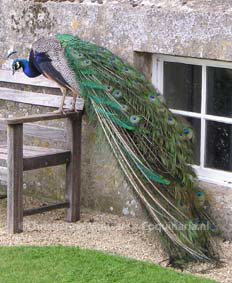 A fully-grown peacock at Corsham Court in England