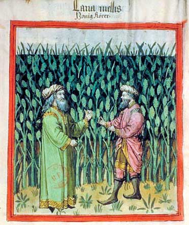 Sugar cane. Miniature from a tacuinum sanitatis