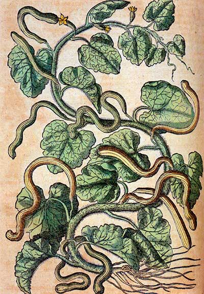 Long and curved cucumbers, Pietro Andrea Mattioli, 1563