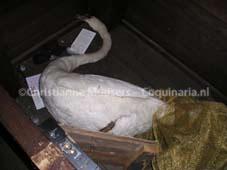 Opgezette zwaan in een kist